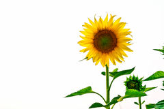 Sunflowers in field with white blackground, Thailand Stock Photography