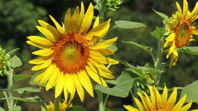 Sunflowers field in the wind stock video footage
