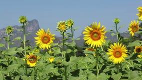 Sunflowers field in the wind stock video