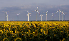 Sunflowers field Wind generators. Sunflowers and wind generators at the field in summer Royalty Free Stock Images