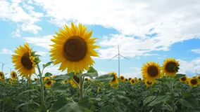 Sunflowers field with wind turbine in the background. Windmills rotating during windy summer cloudy day on yellow field with sunflowers detail stock video footage