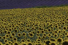 Sunflowers and lavender in the field South-France stock photo