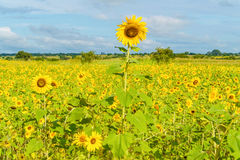 Sunflowers field in Zambia Stock Image