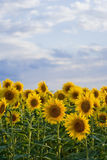 Sunflowers fields 03 Stock Photo