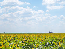 Sunflowers fields with an ancient church ruins Stock Image
