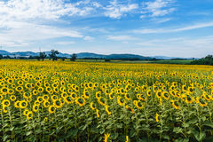 Sunflowers fields Stock Images
