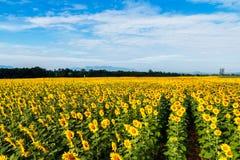 Sunflowers fields Royalty Free Stock Photos