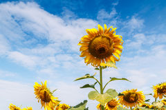 Sunflowers fields Stock Photo