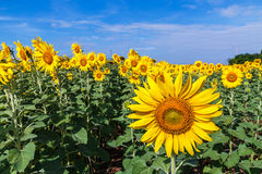 Sunflowers fields Stock Photos