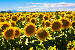 Sunflowers fields in California. Beautiful Sunflowers fields in California Royalty Free Stock Image