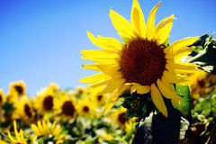 Sunflowers fields in California Royalty Free Stock Photo