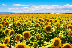 Sunflowers fields in California Royalty Free Stock Image