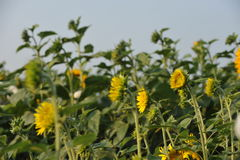 Sunflowers in the fields Stock Photography