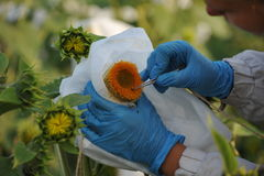 Sunflowers in the fields. Cultivation and selection of sunflower Stock Photography