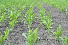 Young corn sprouts. Corn growing on the field Royalty Free Stock Photography