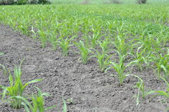Corn growing on the field. Young corn sprouts Royalty Free Stock Photo