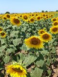 Sunflowers fields in full bloom. Fields of Sunflowers on a summer day Royalty Free Stock Photos