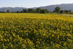 Sunflowers fields in the holy valley #11, Rieti Stock Image