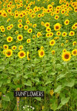Sunflowers fields Stock Image