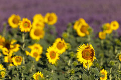 Sunflowers fields in Provence Stock Photos