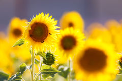 Sunflowers fields in Provence Royalty Free Stock Photo