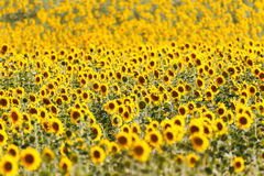 Sunflowers fields in Provence Royalty Free Stock Photos