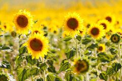 Sunflowers fields in Provence Stock Image