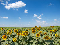 Sunflowers fields. Summer afternoon in the fields of sunflowers, with a clear sky and a beautiful, gentle clouds Royalty Free Stock Photo