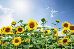 Sunflowers fields Royalty Free Stock Photos