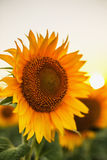 Sunflowers in the fields during sunset Stock Photography