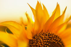 Sunflowers in the fields during sunset Stock Photos