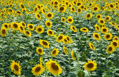 Sunflowers Fields. Sunflowers in Sunflowers Fields Thailand Royalty Free Stock Photography