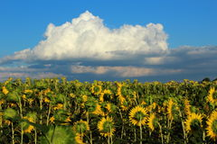 Sunflowers. Fields of yellow flowers and beautiful clouds Royalty Free Stock Images
