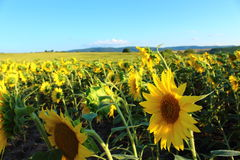 Sunflowers. Fields of yellow flowers and beautiful clouds Royalty Free Stock Photography