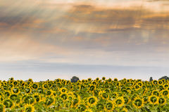 Sunflowers fields. Fields of yellow sunflowers inspire liveliness and care for the environment and ecology stock image
