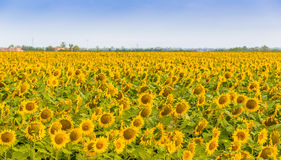 Sunflowers fields. Fields of yellow sunflowers inspire liveliness and care for the environment and ecology royalty free stock image
