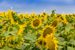 Sunflowers fields. Fields of yellow sunflowers inspire liveliness and care for the environment and ecology Stock Images