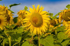Sunflowers fields. Fields of yellow sunflowers inspire liveliness and care for the environment and ecology Royalty Free Stock Photography
