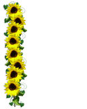 Sunflowers floral Border Stock Photos