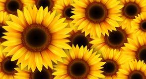 Sunflowers flower background. Sunflowers background, summer flowers vector illustration Royalty Free Stock Photo