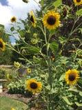 Sunflowers. Flower in the garden stock image