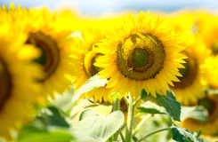 Sunflowers flowers green background nature yellow. Sunflowers flowers green background nature. yellow summer wallpaper Stock Photo