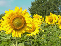 Sunflowers with focus on left side. Sunflowers and blue sky in summer with focus on left  side of frame Stock Photography