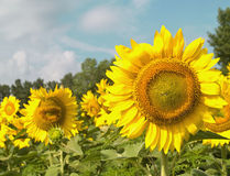 Sunflowers with focus on right side. Sunflowers and blue sky in summer with focus on right side of frame Royalty Free Stock Photos