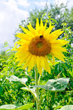 Sunflowers. With foliage and blue sky background Royalty Free Stock Photography