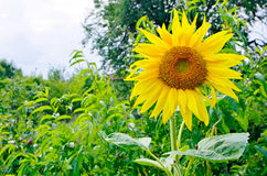 Sunflowers. With foliage and blue sky background Stock Photos