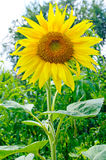 Sunflowers. With foliage and blue sky background Royalty Free Stock Photo