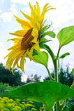 Sunflowers. With foliage and blue sky background Stock Photography