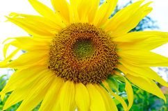 Sunflowers. With foliage and blue sky background Royalty Free Stock Image