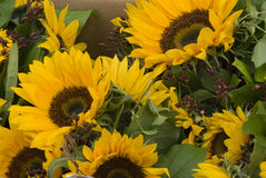 Free Sunflowers For Sale Royalty Free Stock Images - 11096009